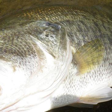 同じ魚を繰返し|野池バスフィッシング