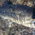 西湖 43cm